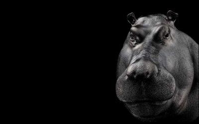 Ippopotamo Hippopotamus amphibius