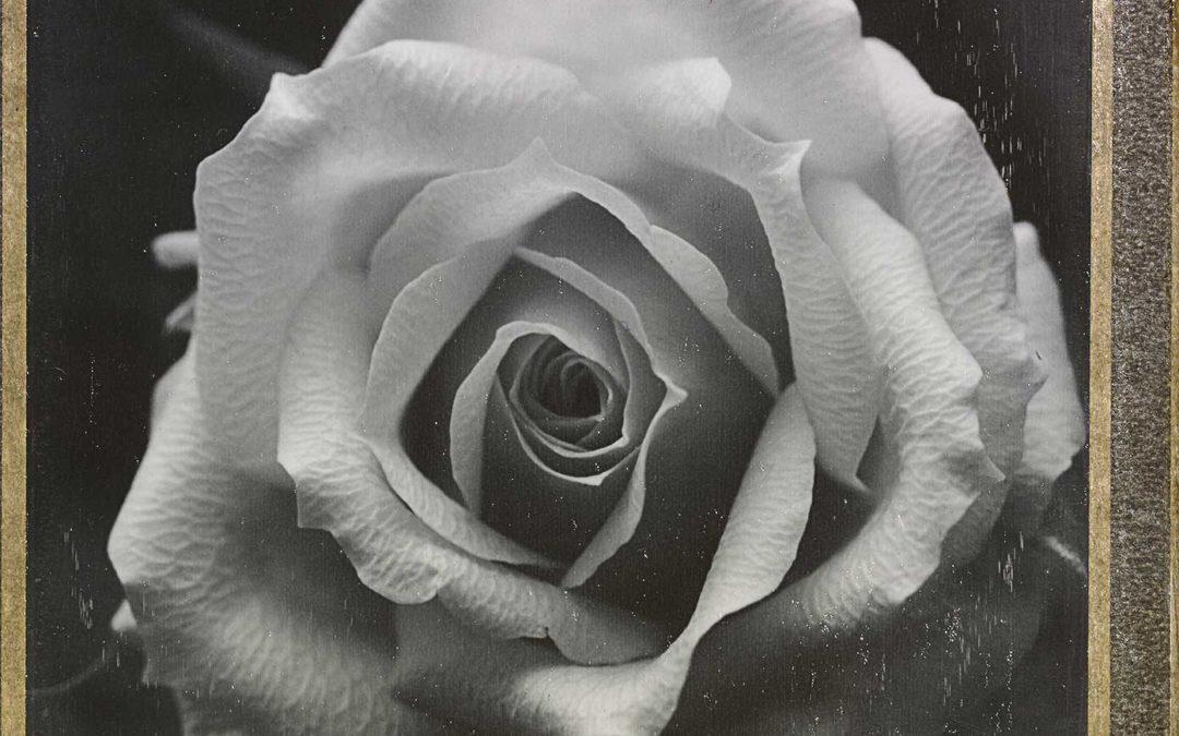 Rosa Rosae luzzitellidanieli